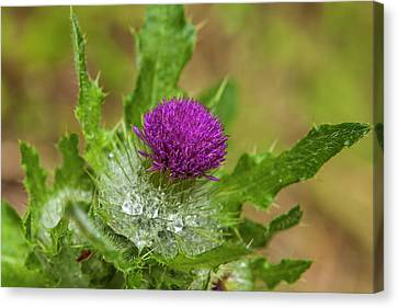 Invasive Purple Thistle On The Olympic Canvas Print by Michael Qualls