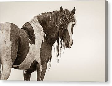 Forelock Canvas Print - Invincible by Sandy Sisti
