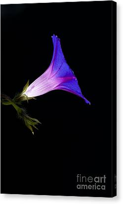 Ipomoea Morning Glory Canvas Print by Tim Gainey