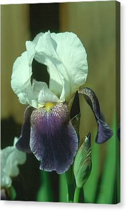 Iris 3 Canvas Print by Andy Shomock