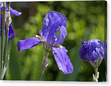 Iris 4 Canvas Print by Andy Shomock
