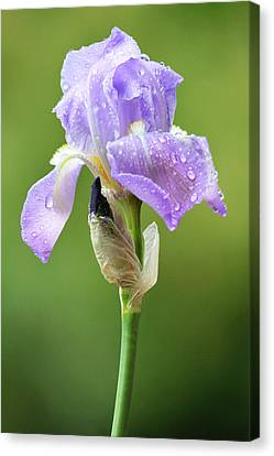 Canvas Print featuring the photograph Iris After The Rain by Trina  Ansel