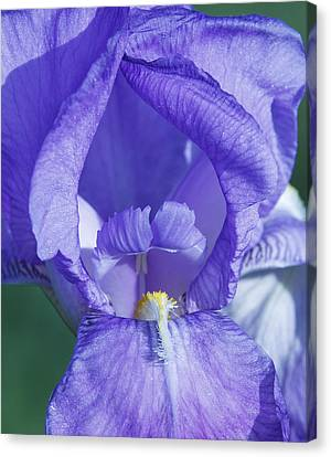 David Lester Canvas Print - Iris Beauty 2 by David Lester