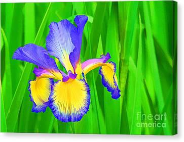 Iris Blossom Canvas Print by Teresa Zieba