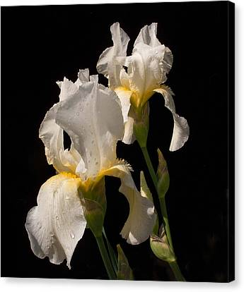 Iris Cream Canvas Print by Don Spenner