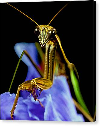 Canibal Canvas Print - Macro Closeup Of The Praying Mantis On A Blue Iris Flower by Leslie Crotty
