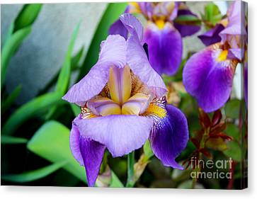 Iris From The Garden Canvas Print
