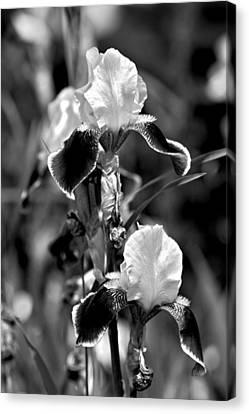 Iris In Black And White Canvas Print by Karon Melillo DeVega