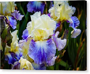 Canvas Print featuring the photograph Iris In Blue And Yellow by Patricia Babbitt