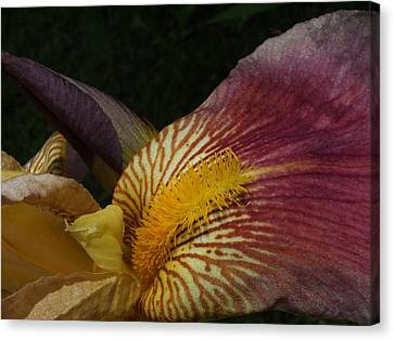 Canvas Print featuring the photograph Iris In Pink And Yellow by Gene Cyr