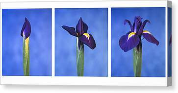 Canvas Print featuring the photograph Iris by Lana Enderle