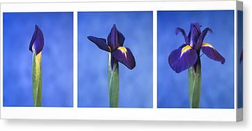 Iris Canvas Print by Lana Enderle