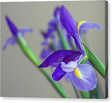 Canvas Print featuring the photograph Iris by Lisa Phillips
