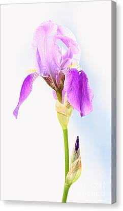 Iris On A Sunny Day Canvas Print