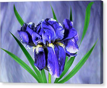 Iris Pallida Flowers Canvas Print by Archie Young