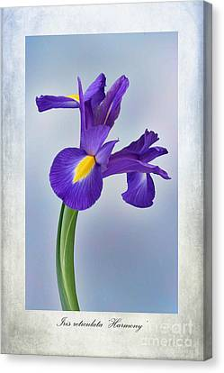 Iris Reticulata Canvas Print by John Edwards