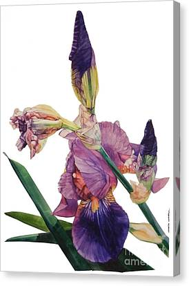 Watercolor Of A Tall Bearded Iris In A Color Rhapsody Canvas Print