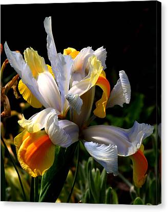 Iris Canvas Print by Rona Black