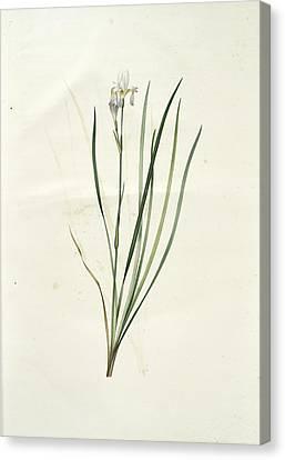 Iris Sibirica, Iris De Sibérie, Siberian Lily Canvas Print