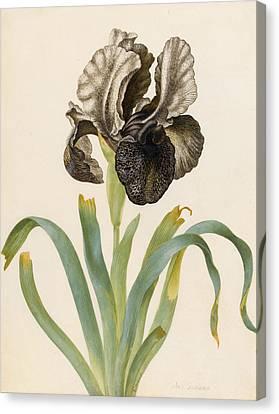 Iris Susiana Canvas Print by Maria Sibylla Graff Merian