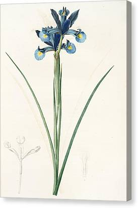Iris Xiphium, Iris Xiphium Iris Xiphium Spanish Iris Canvas Print