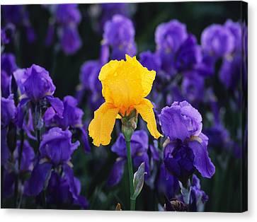Iris Xxiii Canvas Print