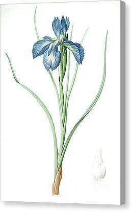 Iris Xyphioides, Iris Faux-xyphium English Iris Canvas Print