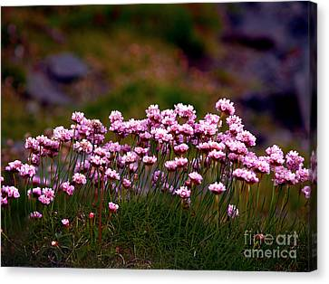 Irish Sea Pinks Canvas Print by Patricia Griffin Brett