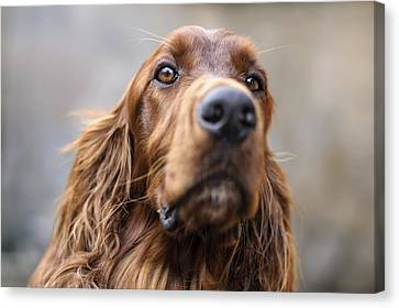 Irish Setter Canvas Print