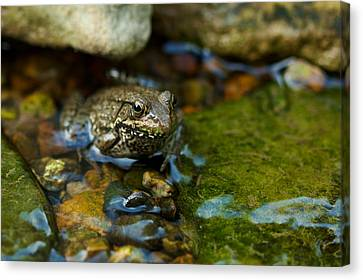 Canvas Print featuring the photograph Is There A Prince In There? - Frog On Rocks by Jane Eleanor Nicholas
