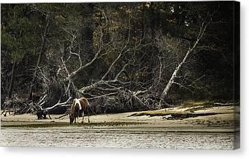 Island Pony Canvas Print