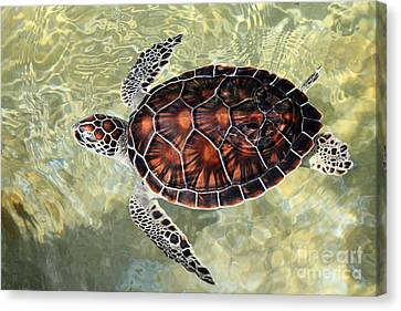 Island Turtle Canvas Print by Carey Chen