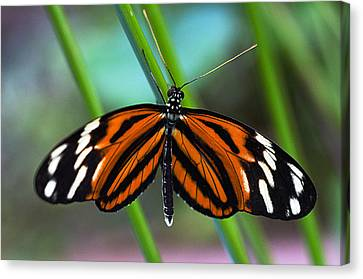 Ismenius Tiger Butterfly Canvas Print by Cheryl Cencich