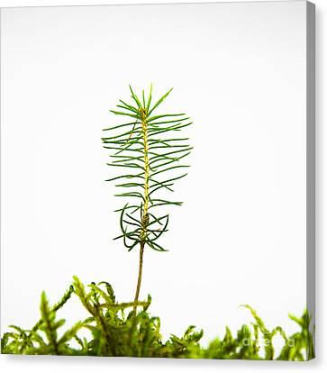 Isolated Spruce Seedling Canvas Print by Kennerth and Birgitta Kullman