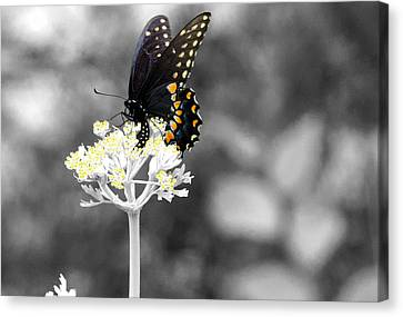 Isolated Swallowtail Butterfly Canvas Print by Lorri Crossno