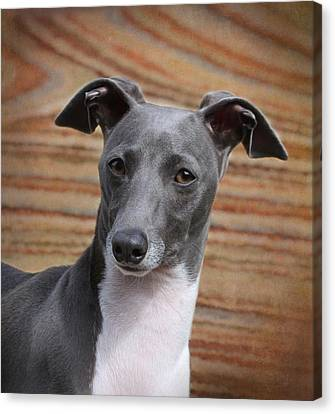 Italian Greyhound Canvas Print by Angie Vogel