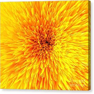 Italian Sunflower Detail Canvas Print by C Lythgo