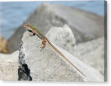 Italian Wall Lizard Basking On A Rock Canvas Print
