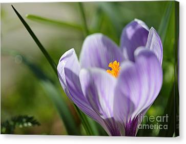 It's Finally Spring Canvas Print by LHJB Photography