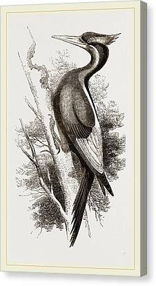 Ivory-billed Woodpecker Canvas Print by Litz Collection