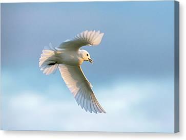 Ivory Gull In Flight Canvas Print