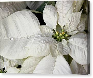 Ivory Poinsettia Christmas Flower Canvas Print by Jennie Marie Schell
