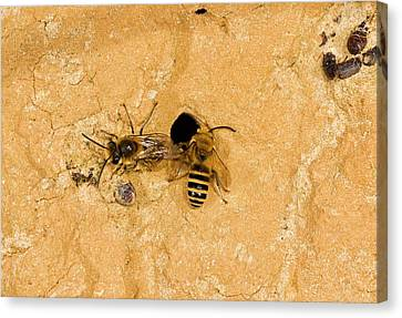 Ivy Bees Nesting In A Cliff Canvas Print