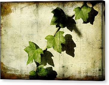 Ivy Canvas Print by Ellen Cotton