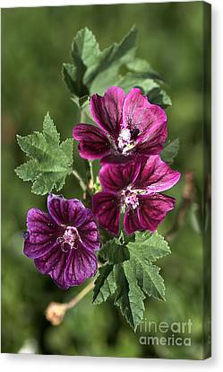 Ivy-leafed Geraniums   Canvas Print by Joy Watson