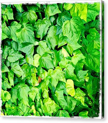 Ivy Canvas Print by Les Cunliffe
