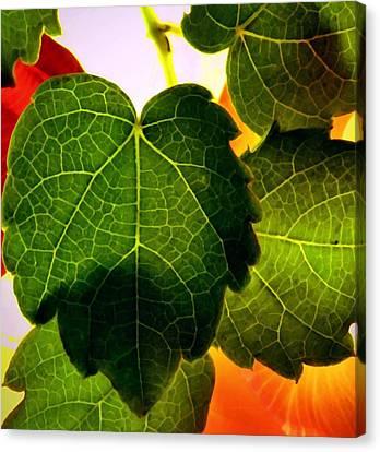 Ivy Light Canvas Print by Chris Berry