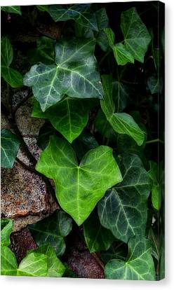 Ivy Over Rocks Canvas Print by Steve Hurt