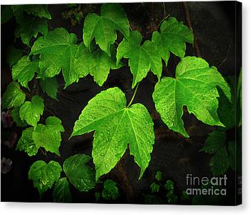 Canvas Print featuring the photograph Ivy by Tom Brickhouse