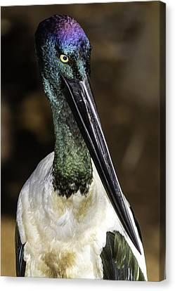 Water Bird Canvas Print - Jabiru Portrait by Mr Bennett Kent
